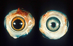Grey iris and irregular pupil from Marek's disease Source: United States Department of Agriculture