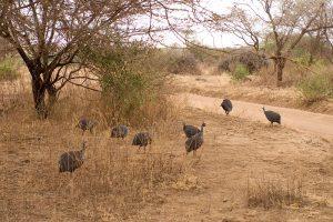 Guinea Fowls are often kept for ornamental purposes. Photo courtesy of Wikimedia Commons