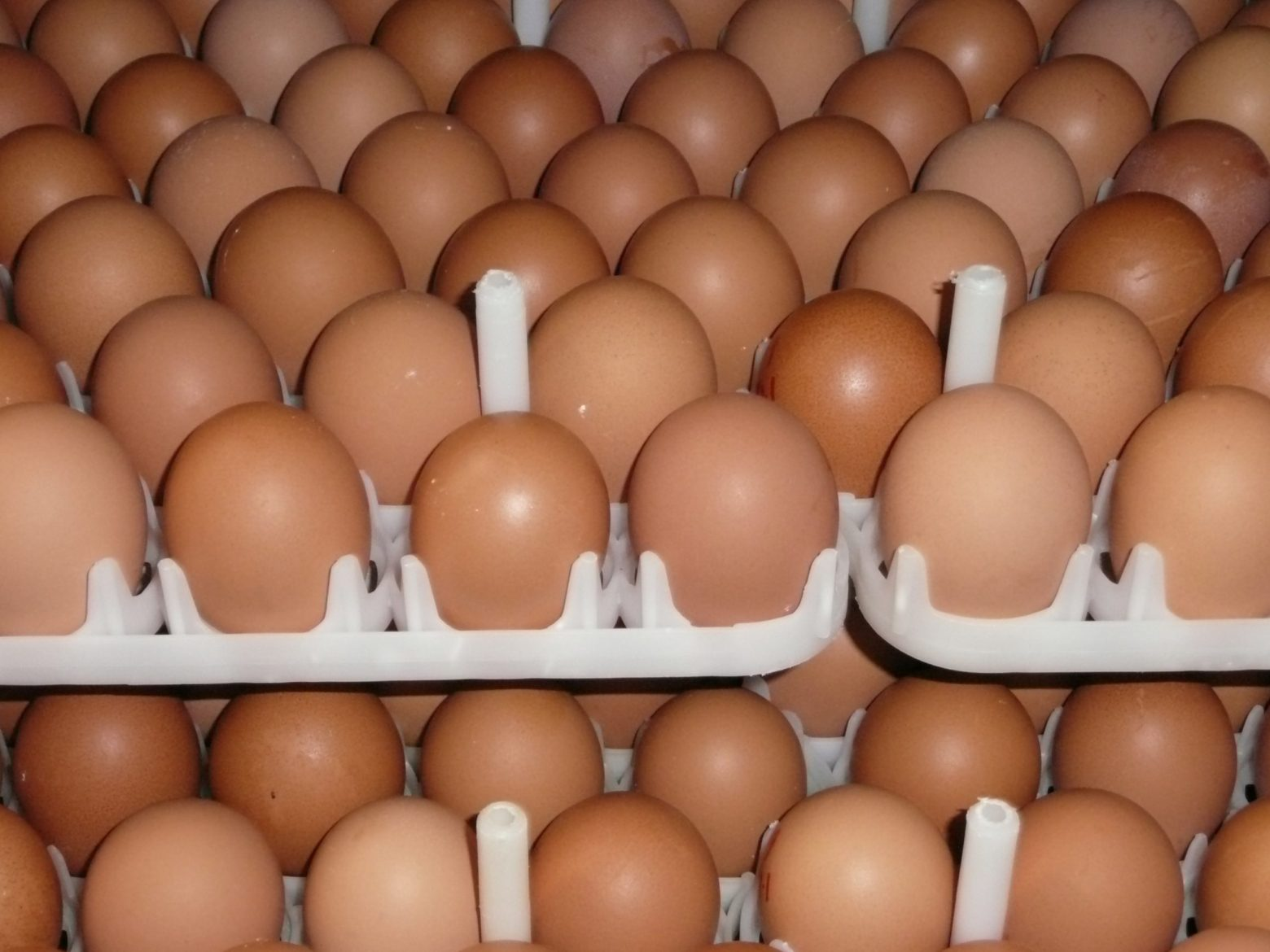 8+2 Hatching Chicken Eggs Backyard Cross