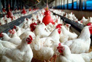 'Chicken Farming in the Living World' Starts School!